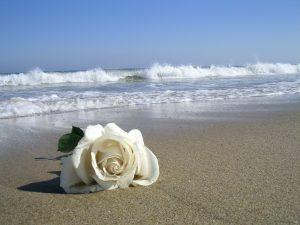 rosa blanca en el mar
