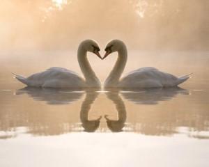 fondos-de-escritorio-de-amor-pareja-de-cisnes-600x480
