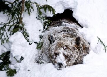 oso-hibernacion.jpg